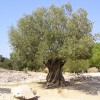 Photo of olive tree