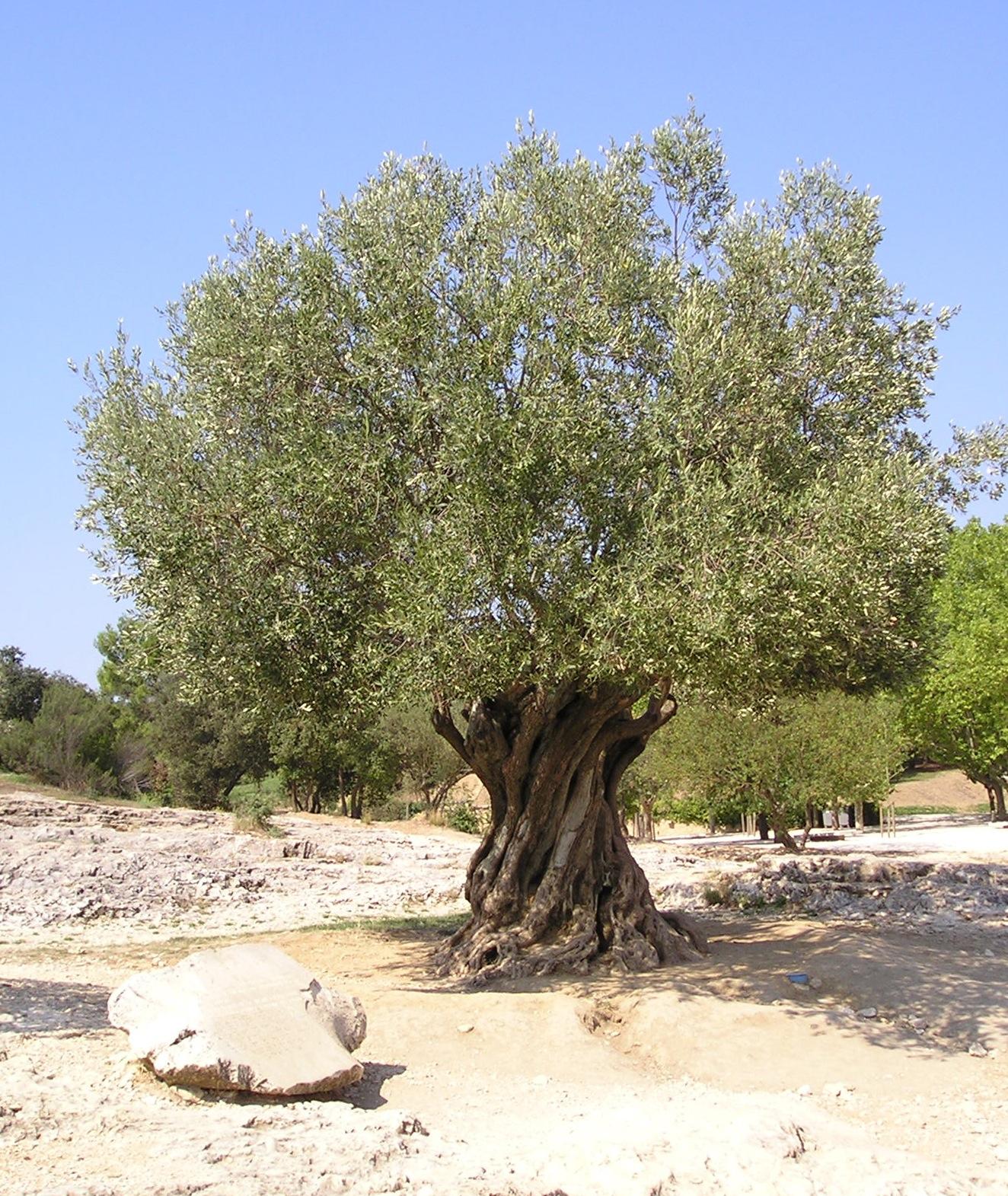 Photo of olive tree